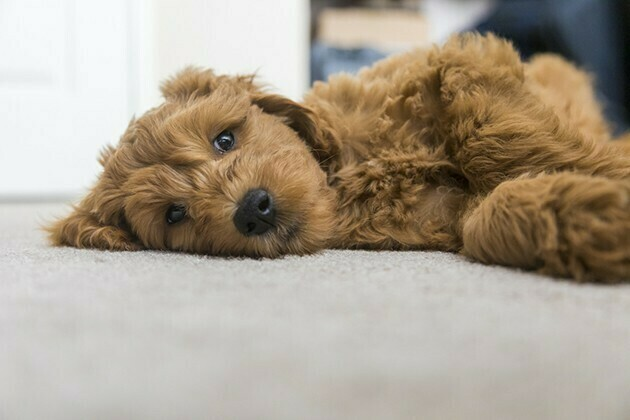 Pet friendly carpet | McSwain Carpet & Floors